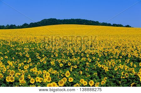 Big field flowering sunflower on background blue sky
