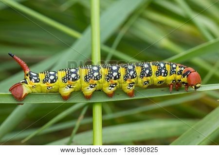 Macro shoot of bright colored caterpillar on grass background
