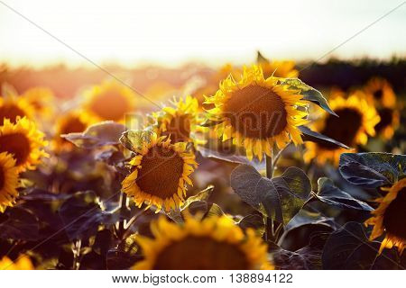 Beautiful yelow sunflowers in the field at summer