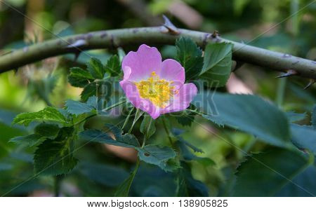 White Rose Wild rose flower aka Rosa acicularis or prickly wild rose or prickly rose or bristly rose or Arctic rose or Rosa canina flower