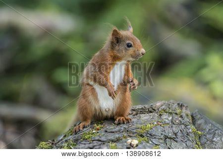 Red Squirrel, Sciurus Vulgaris, On A Tree Trunk