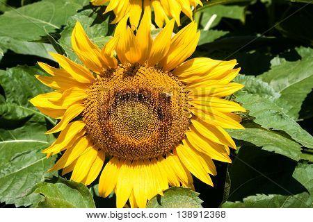 Ripe sunflower on field. Nature landscape. Nature background