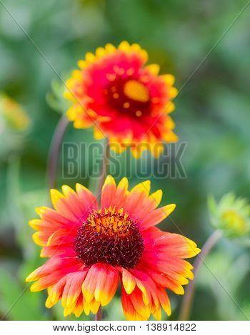 Gaillardia Flower Blossomed