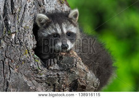 Young Raccoon (Procyon lotor) in Knothole - captive animal
