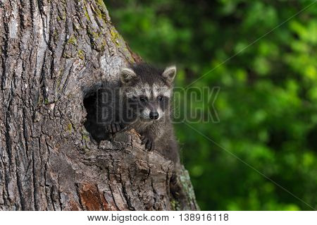 Young Raccoon (Procyon lotor) Paws Out of Knothole - captive animal