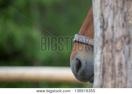 Chestnut horse standing outdoors, close up shot