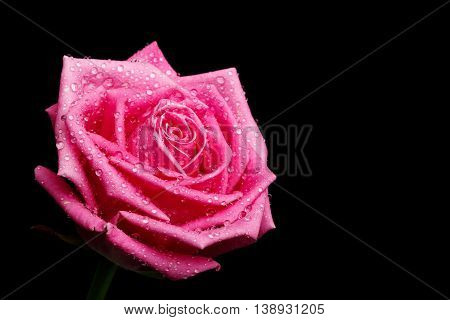 beautiful pink rose head isolater on black background, place for text