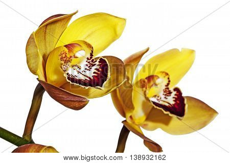 Two Half-open Yellow And Magenta Cymbidium Orchid Flowers