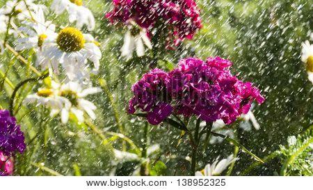 Dianthus barbatus in the rainy summer garden