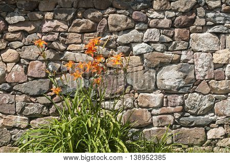 Lilium hybrid flowers against house stone wall background