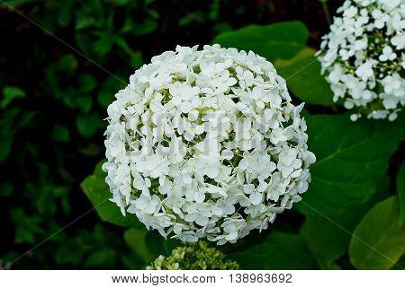 hydrangea paniculata white on a green background