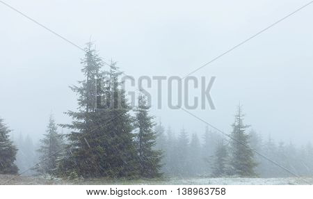 Fogy fir forest in snowstorm. Ukraine Carpathian mountains