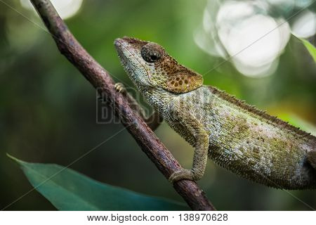 Close up shot of the chameleon on the tree branch in a forest. Madagascar