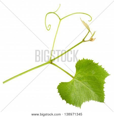 grape tendril with leaf isolated on the white background.