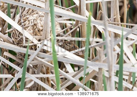 Marsh Wren nest in a clump of cattails spring in BC Canada