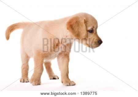 young golden retriever puppy in my studio poster