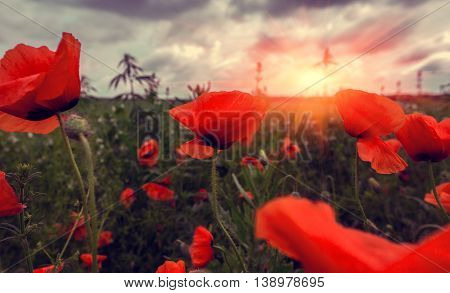 wild poppy flower in a field with grasses at sunset
