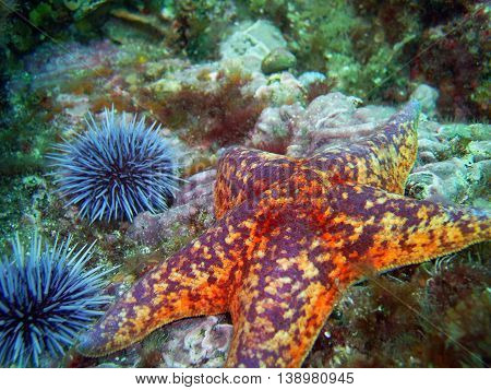Orange and red Bat Star surrounded by Purple Sea Urchins found off of central California's Channel Islands.