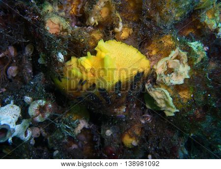 Tylodina fungina Sea Slugs found off of central California's Channel Islands.