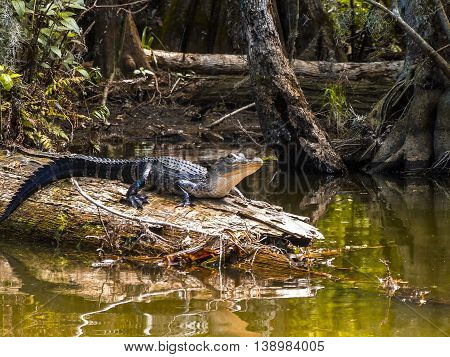 Small alligator sits on log in the Dora canal, Florida.