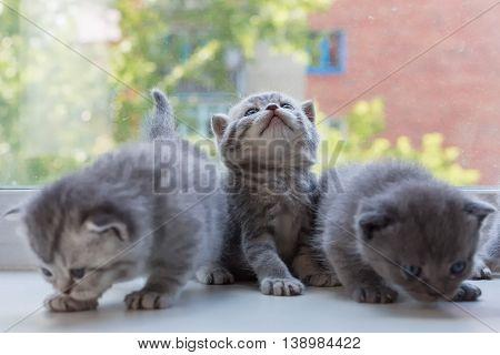 Beautiful small striped kittens on the window sill. Scottish Fold breed.