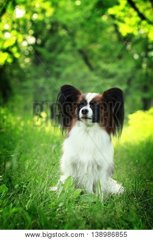 beautiful dog of breed Papillon in the summer sitting in the grass