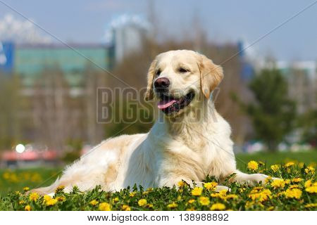 beautiful dog breed Golden Retriever lying in the summer grass with dandelions