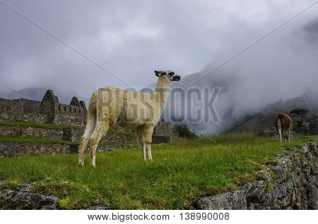 Alpaca ( Lama ) In  Machu Picchu, Peru, Unesco World Heritage Site. One Of The New Seven Wonders Of