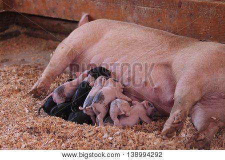 Pink Cerdos piglets still nursing from their mother sow in summer.