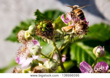 bee sitting on a pink flower blackberry
