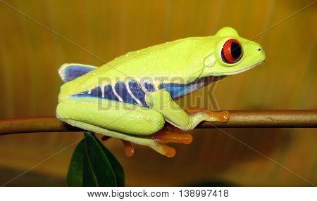 Red eye tree frog sitting on branch.