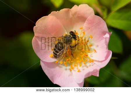 Bee on a pink flower . Macro of honey bee on rose flower. Macro of honey bee (Apis) feeding on flower