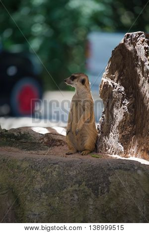 cute Slender-Tailed Meerkats standing upright in the zoo