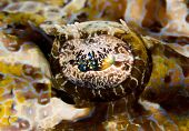 Macro of the eye of a Tentacled flathead (Papilloculiceps longiceps) also known as a crocodile fish. Taken in the Wakatobi Indonesia. poster