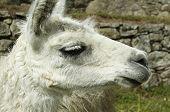 White llama close ap in the Peru poster