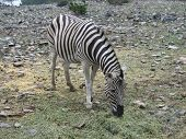 Zebra peacefully grazing in an animal park poster