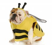 english bulldog dressed up like a bee with reflection on white background poster