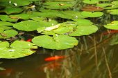 Lily pads floating calmly over a murky pond with orange fish poster