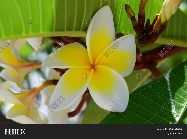 Plumeria Flower Image Photo Free Trial Bigstock