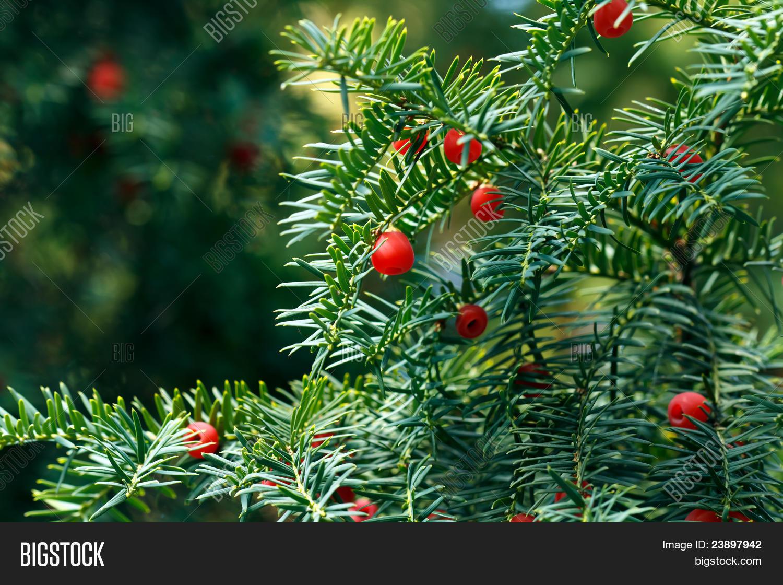 Autumn Taxus Tree Red Image Photo Free Trial Bigstock
