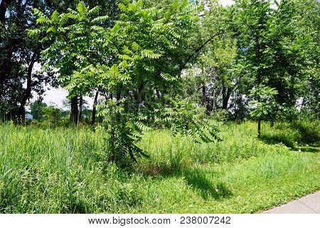 Trees Of Heaven (ailanthus Altissima) Grow Beside The Trail In The Rock Run Preserve Of The Will Cou