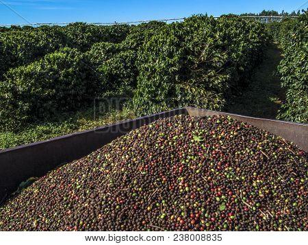 Bahia, Brazil, June, 17, 2004 Autumn Harvester Of Coffee Cherries On A Coffee Plantation In Luis Edu