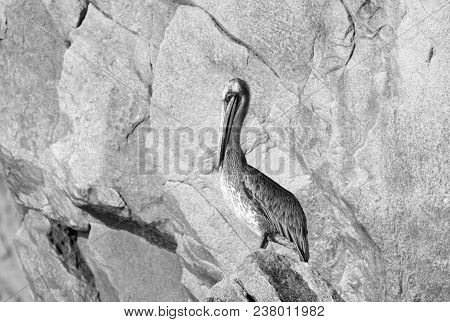 Sunlit Pelican Perching On Los Arcos Rocks At Lands End In Cabo San Lucas Baja California Mexico Bcs