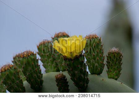 Prickly Pear Cactus (opuntia, Ficus-indica, Indian Fig Opuntia).selective Focus