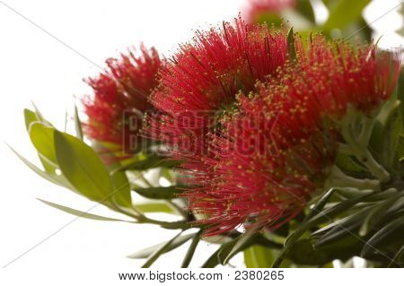 Pohutukawa - New Zealand Christmas Tree.
