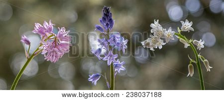 Colour Forms Of Spanish Bluebell (hyacinthoides Hispanica). Pink, White And Blue Varieties Of Specie