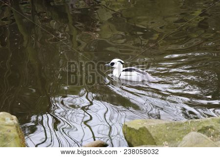 A Beautiful White Mergus Albellus Floating In The River In The Park.
