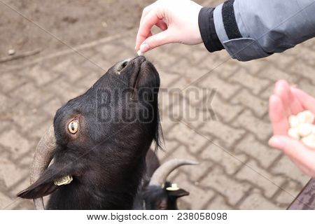 A Black Goat Eating From Hand In Some Park