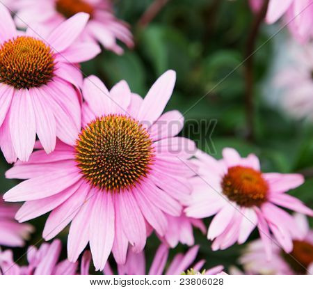 Single pink echinachea in focus surrounded by other soft focus flowers