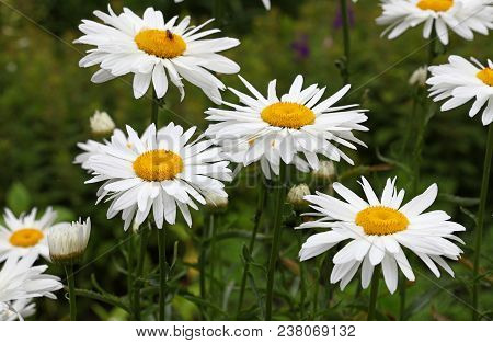 Close Up Several Blooming White Chamomile Flowers Over Green, High Angle View